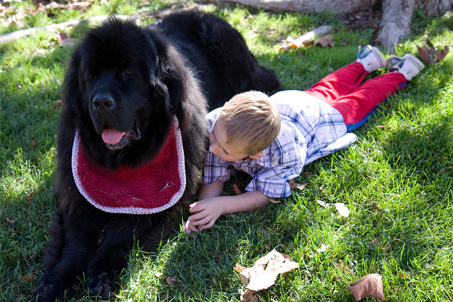 Newfoundlands Archie The Therapy Dog